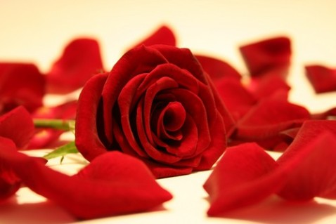 rose_red_by_rippah2
